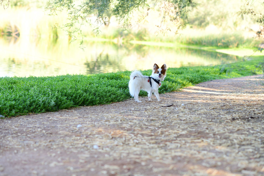 Papillon portrait at a park