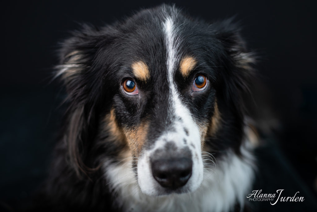 Dog Portrait Queen Creek Arizona