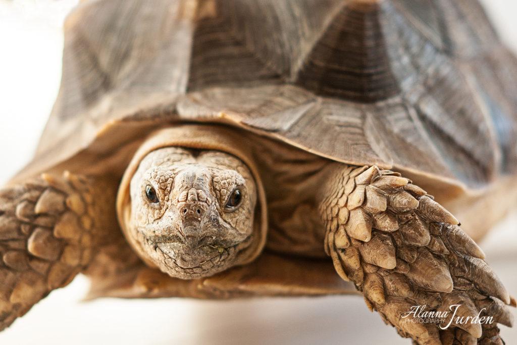 Sulcata Tortoise Portrait