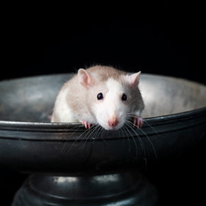 Pet Rat Photography