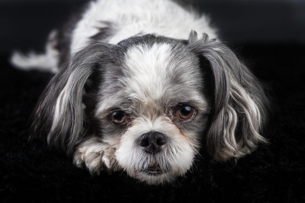 Old Dog Portrait Photographer