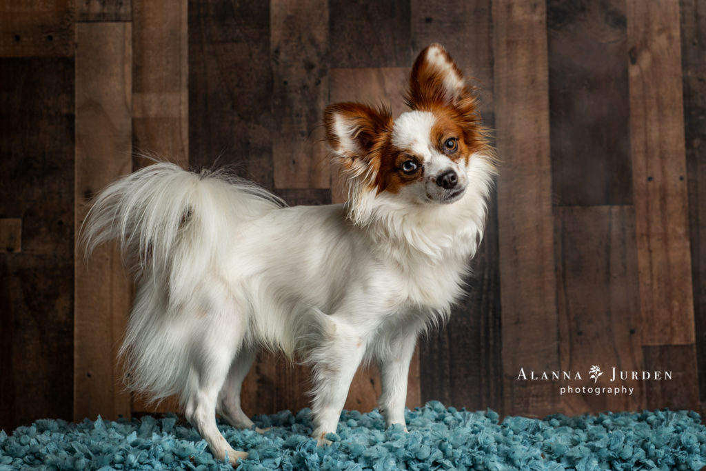 Adorable Papillon Dog Portrait
