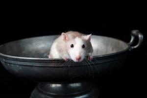 Pet Rat Photography